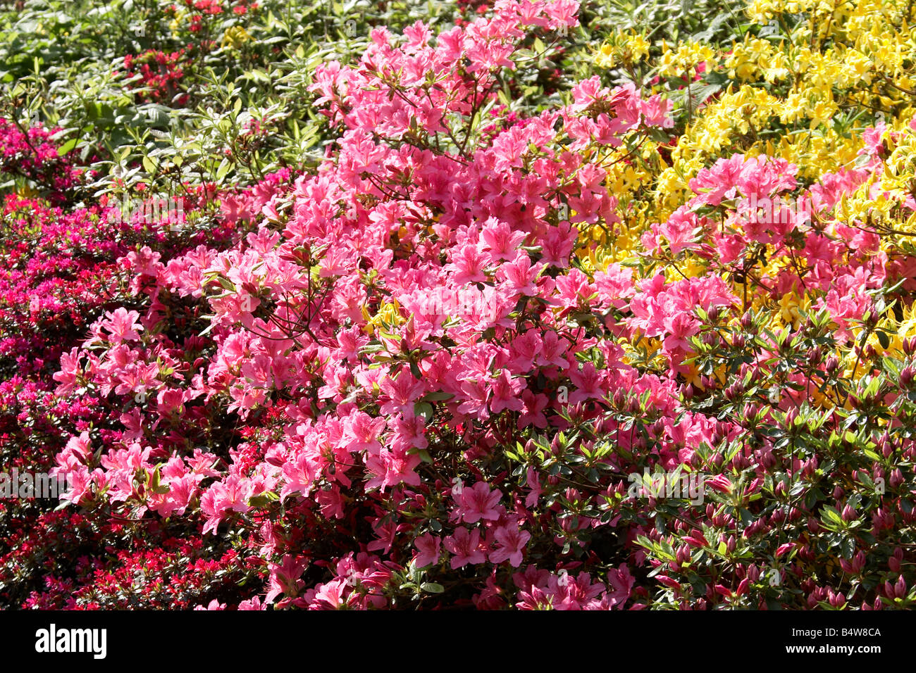 Pink Azaleas and Rhododendrons in full bloom at Kenwood House English Heritage Hampstead London NW3 England UK - Stock Image