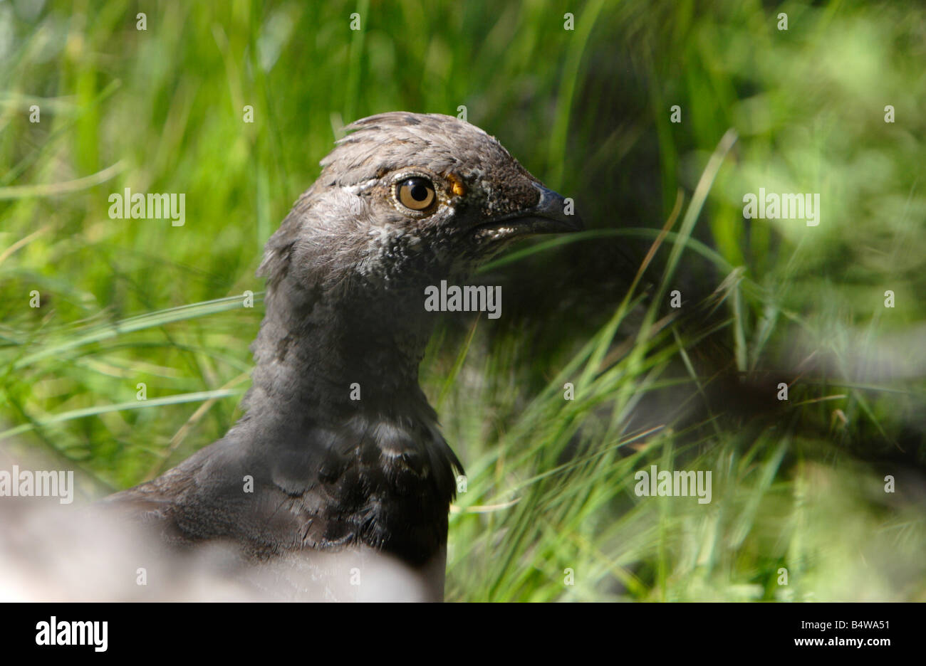 Dusky Grouse Dendragapus obscurus (head & neck image) in tall grasses in hills near Gardiner Montana in July - Stock Image