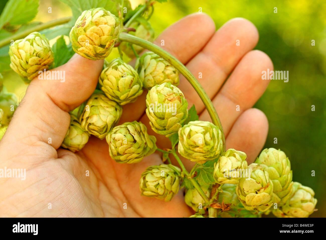 Brewer's hops Humulus lupulus - Stock Image