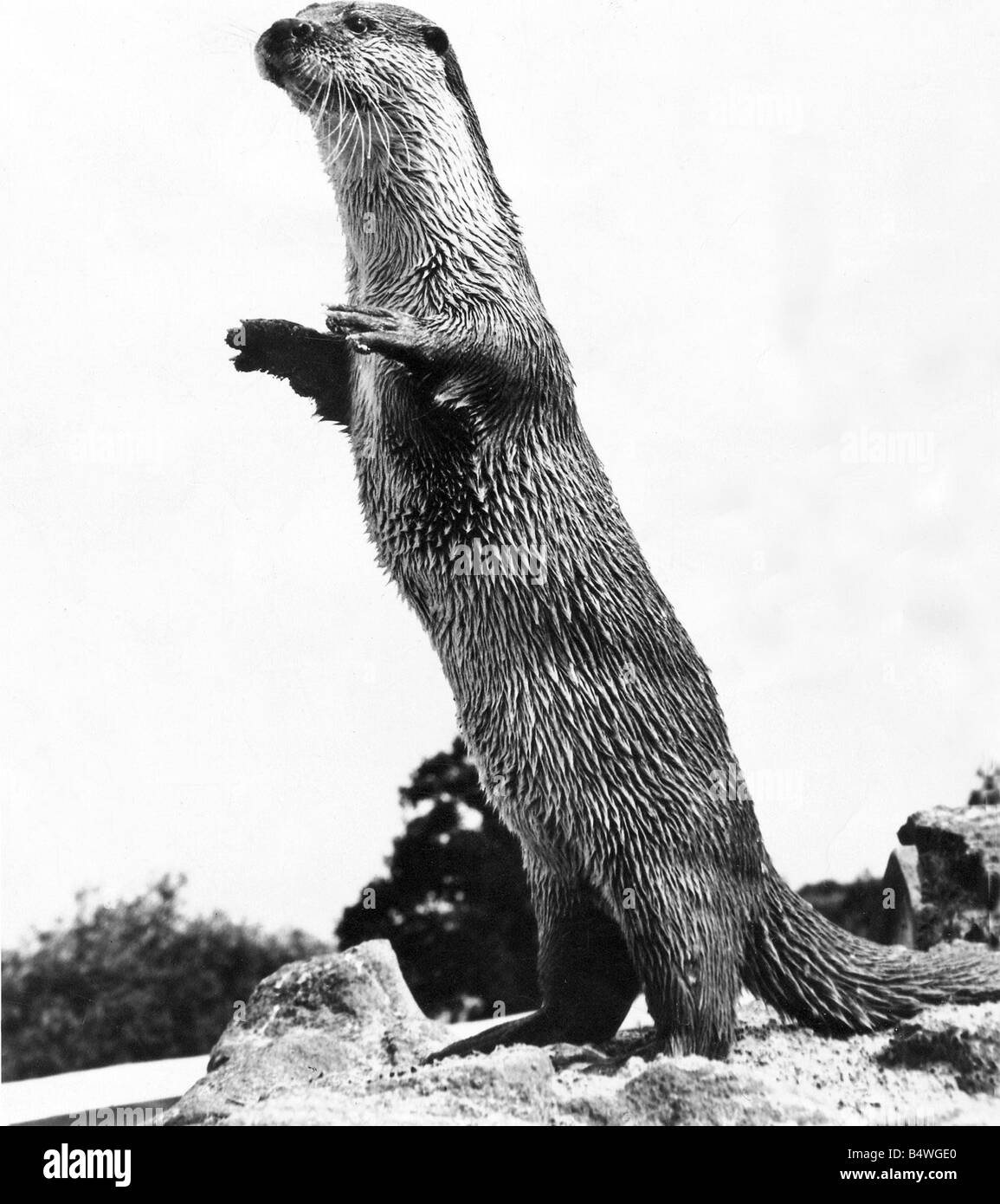 Otter Black and White Stock Photos & Images - Page 3 - Alamy