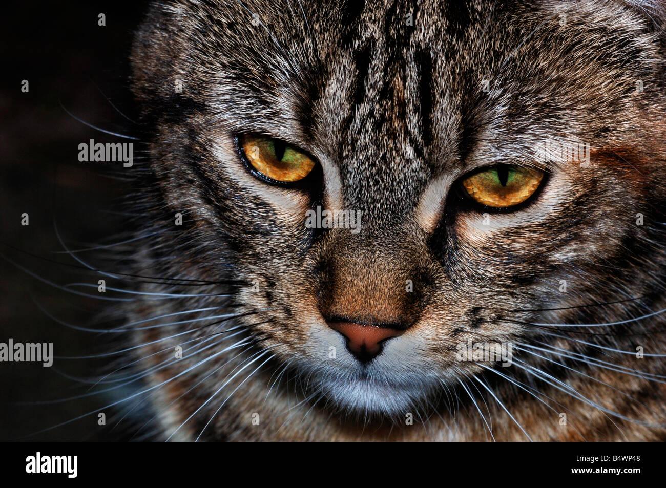 Portrait Of A Female Domestic Cat - Stock Image