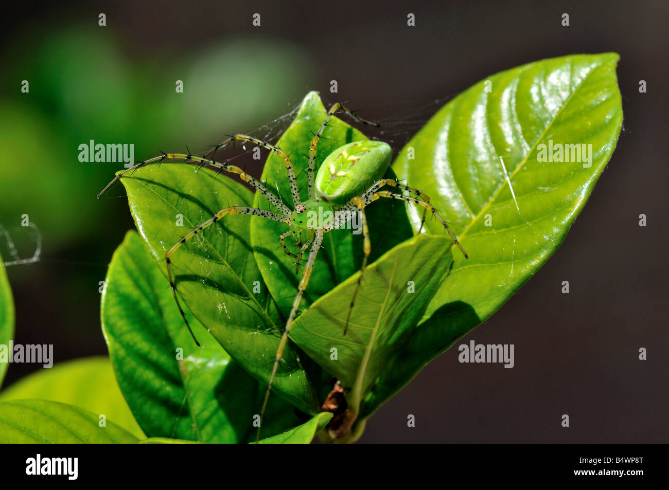 Closeup of a Green Lynx Spider (Peucetia viridans) Stock Photo