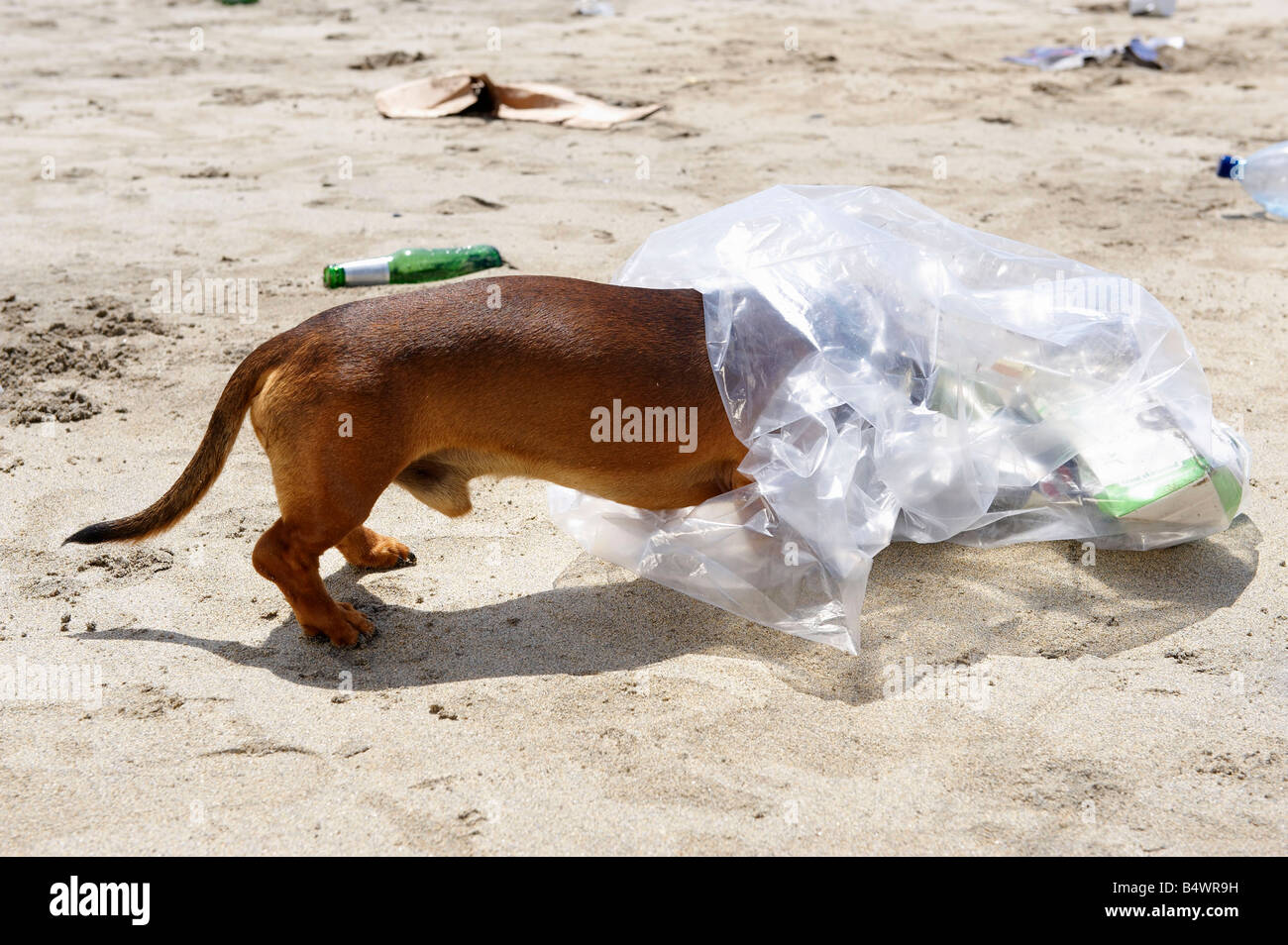 Dog with head in garbage bag - Stock Image