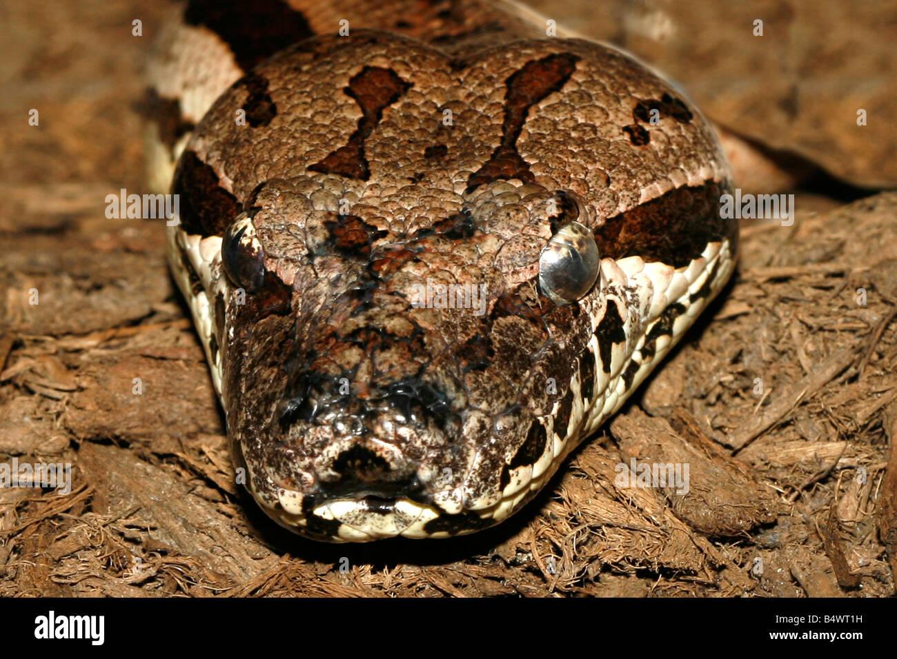Close up photo of a timber rattlesnake taken with macro lens Scientific Name Agkistrodon piscivorus - Stock Image