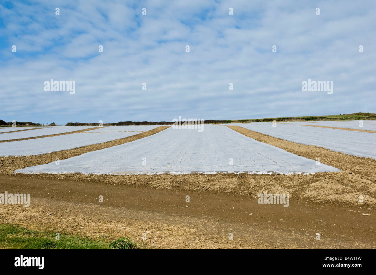 Plastic covered crop in field - Stock Image
