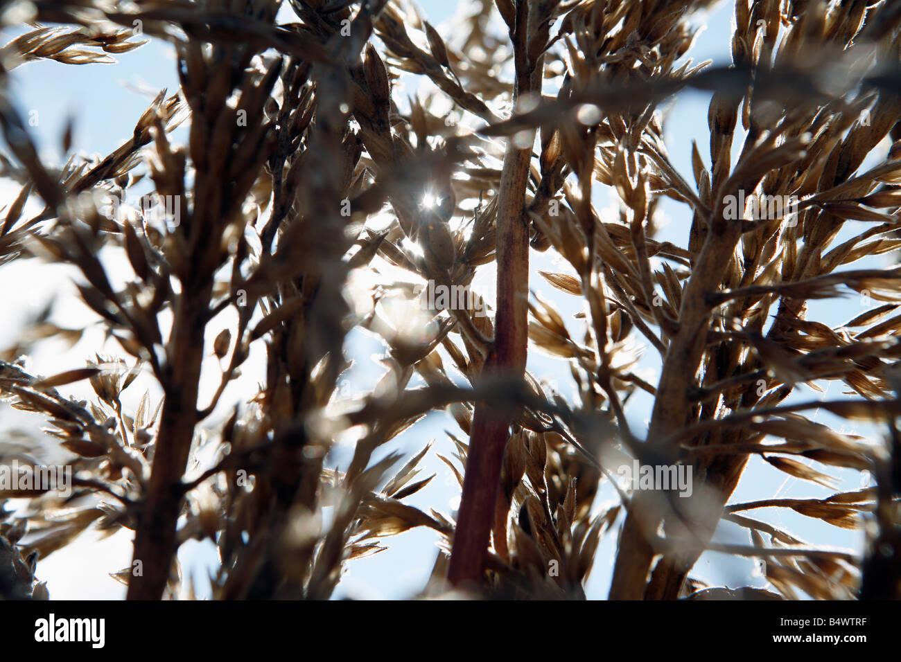 Sunlight shines through corn stalks, autumn harvest - Stock Image