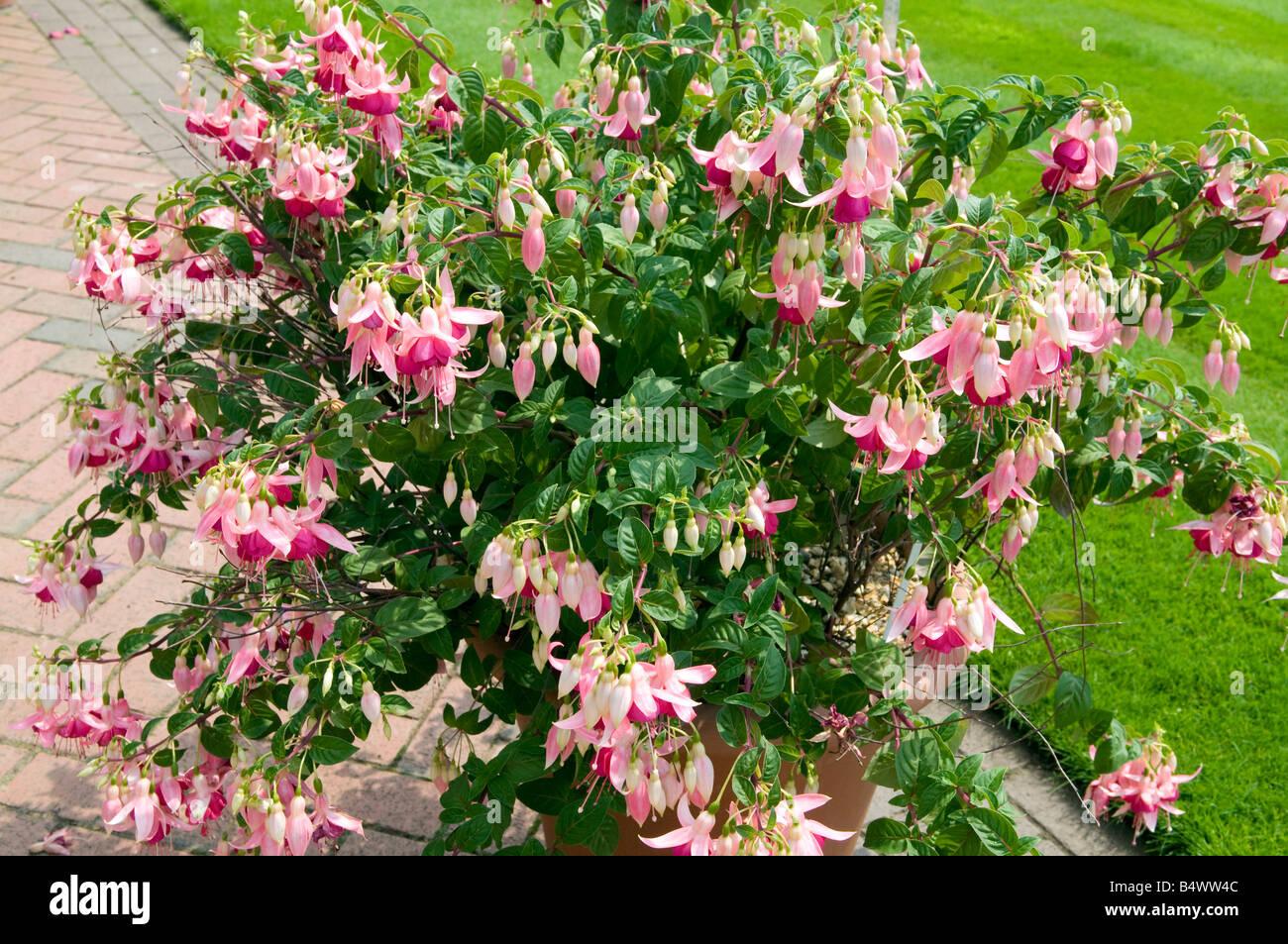 Fushia Onagraceae `Falklands` - Stock Image