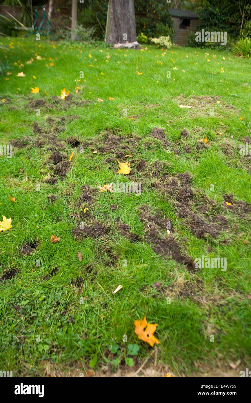 Lawn dug up by a Badger searching for food - Stock Image