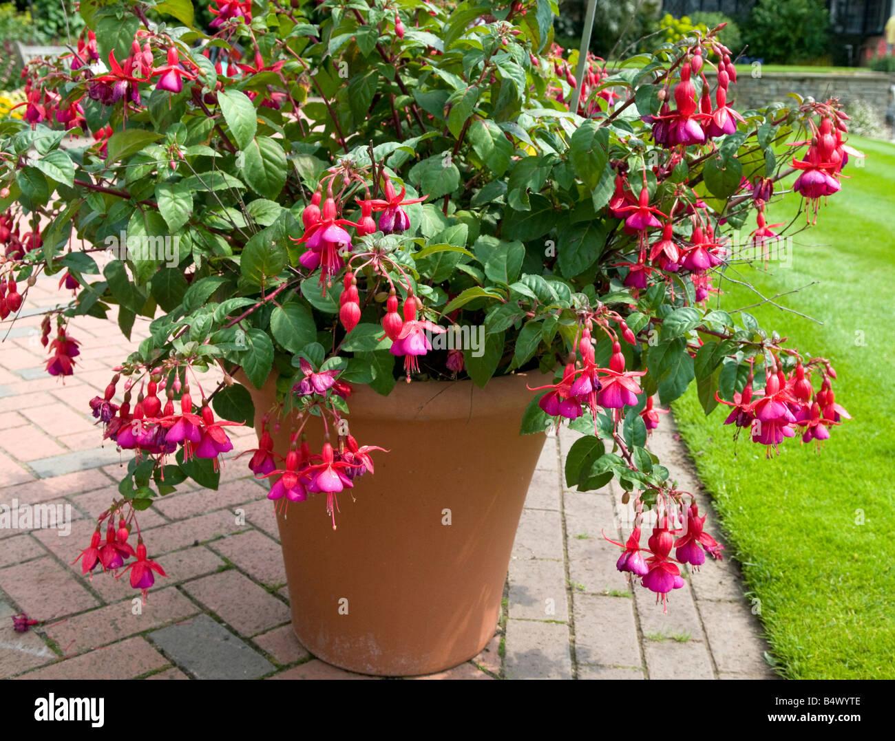 Fushia Onagraceae `Empress of Russia` - Stock Image
