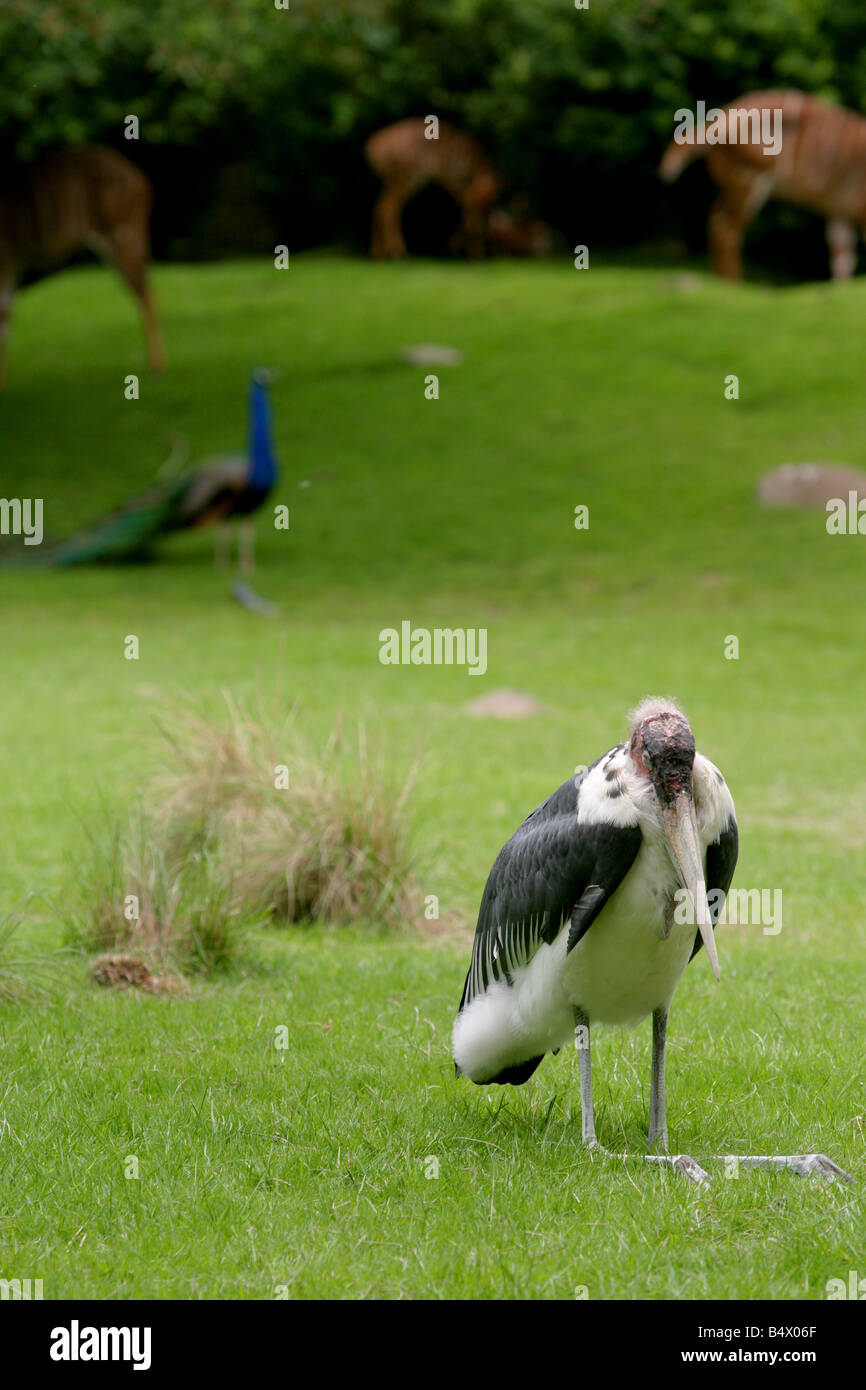 Marabou Stork with a Pea Fowl in background - Stock Image