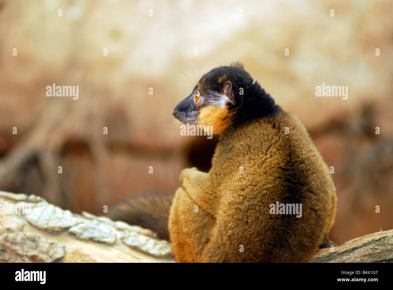 Collared Lemur sitting on a branch profile - Stock Image