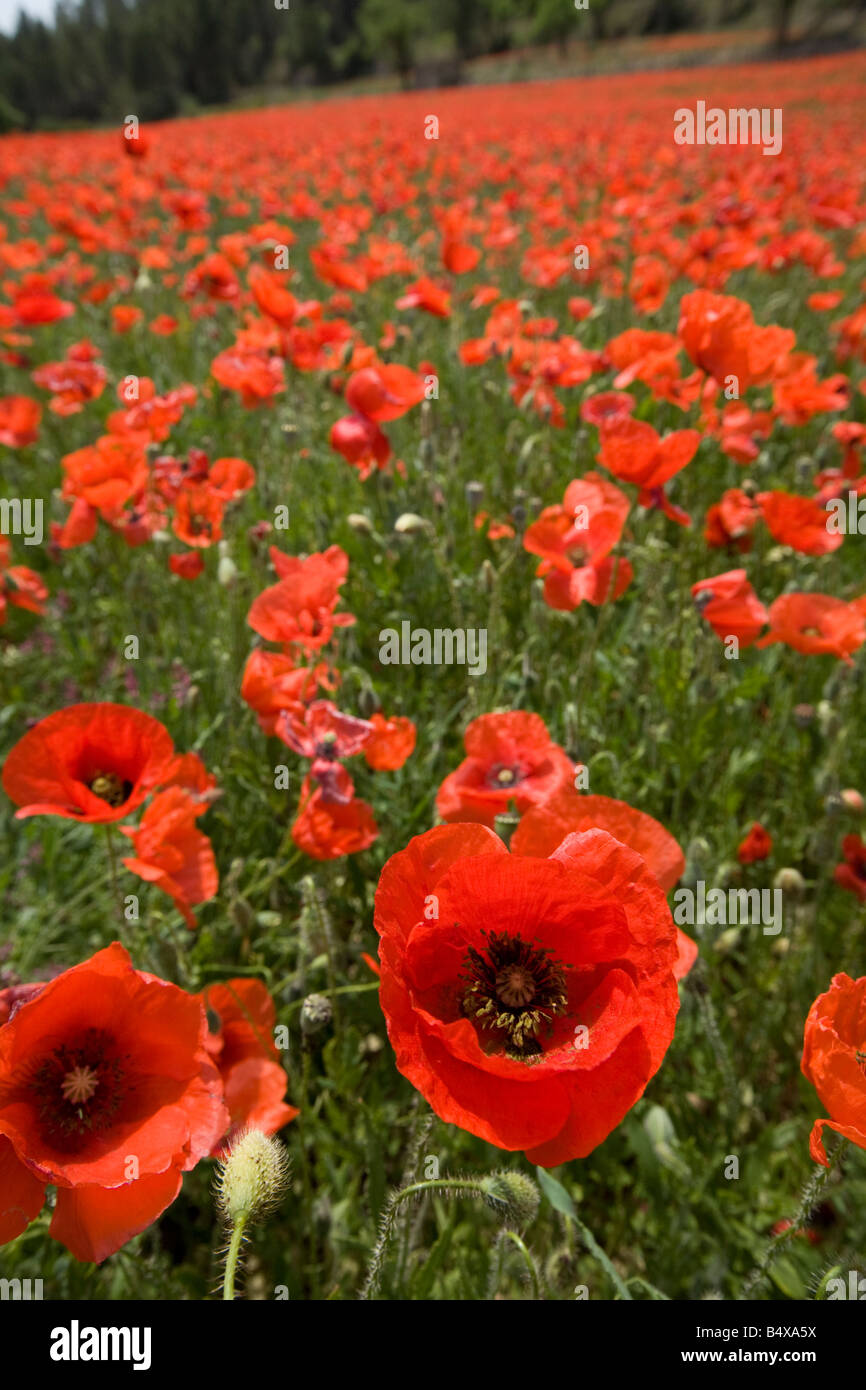 Field full of red corn poppies - Stock Image