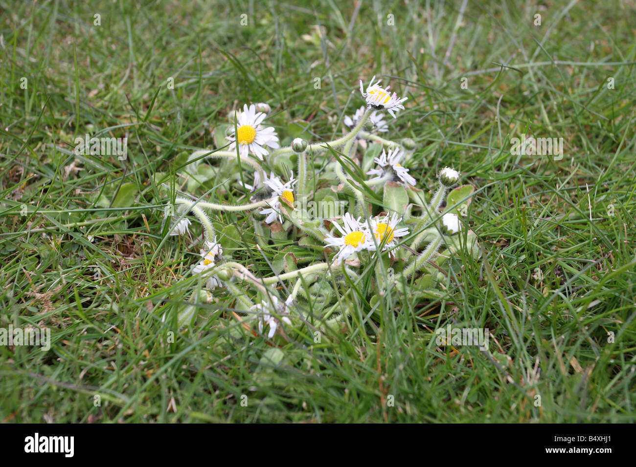 DAISY SHOWING EFFECT OF WEED AND FEED TREATMENT ON LAWN - Stock Image
