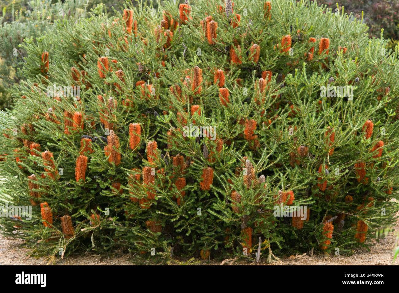 Heath Leaved Banksia Banksia Ericifolia Low Form In Flower Stock Photo Alamy