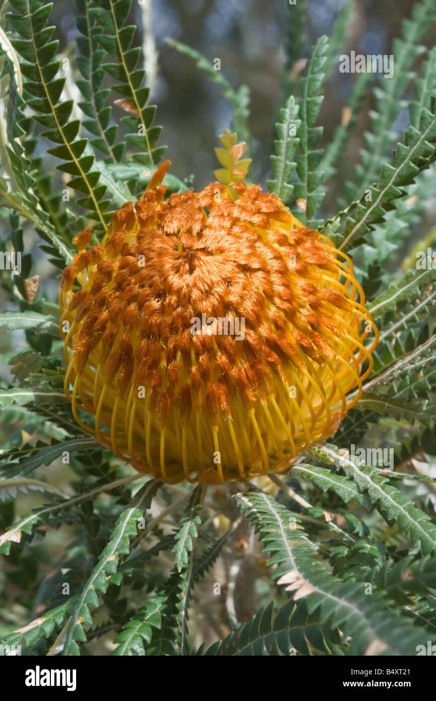Showy Dryandra Banksia formosa close up of flower Banksia Farm Mt Barker Western Australia September - Stock Image