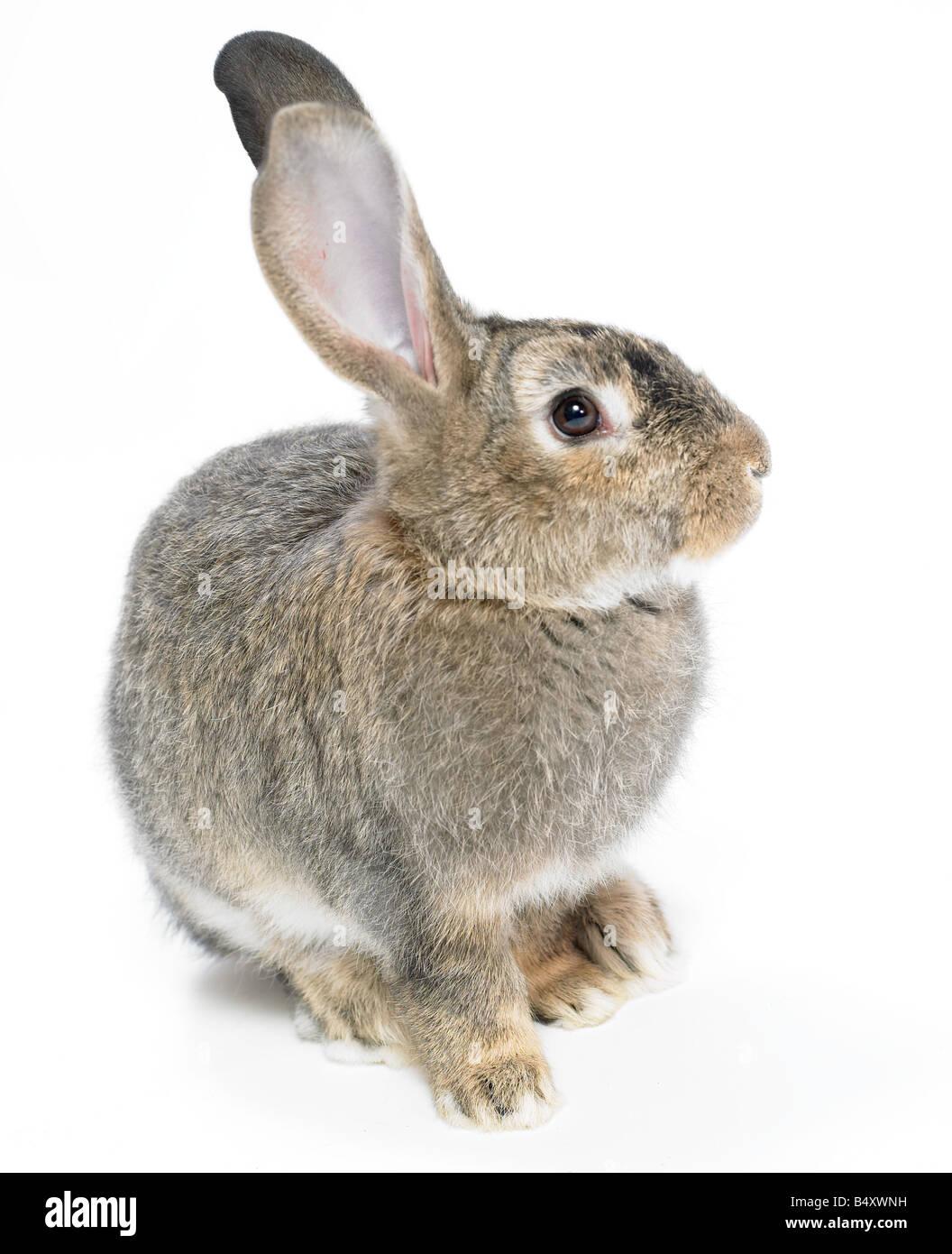 Wild,domestic rabbit on white background.Cutout. - Stock Image