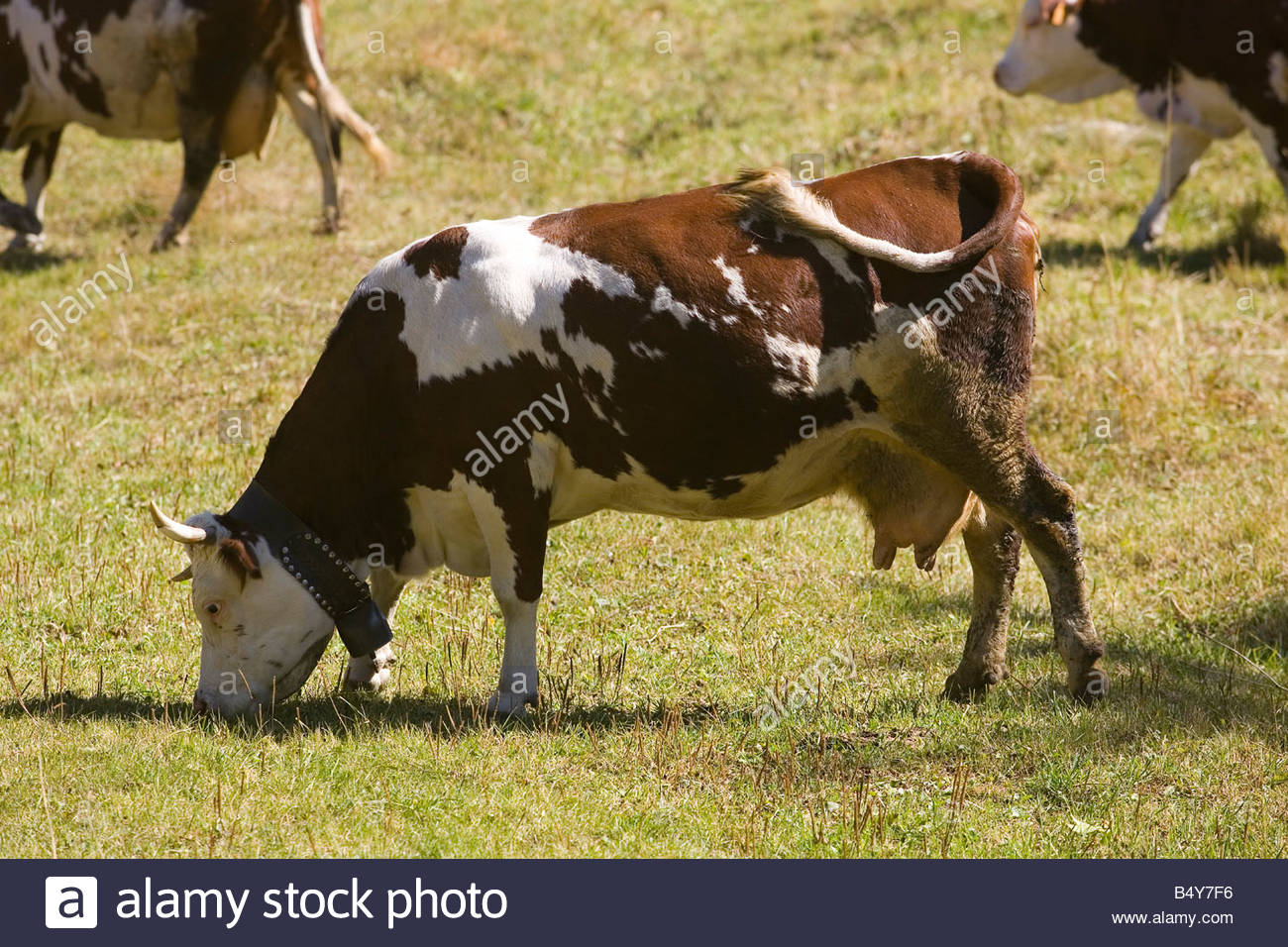 europe,italy,valle d'aosta,pont-sec,cows - Stock Image