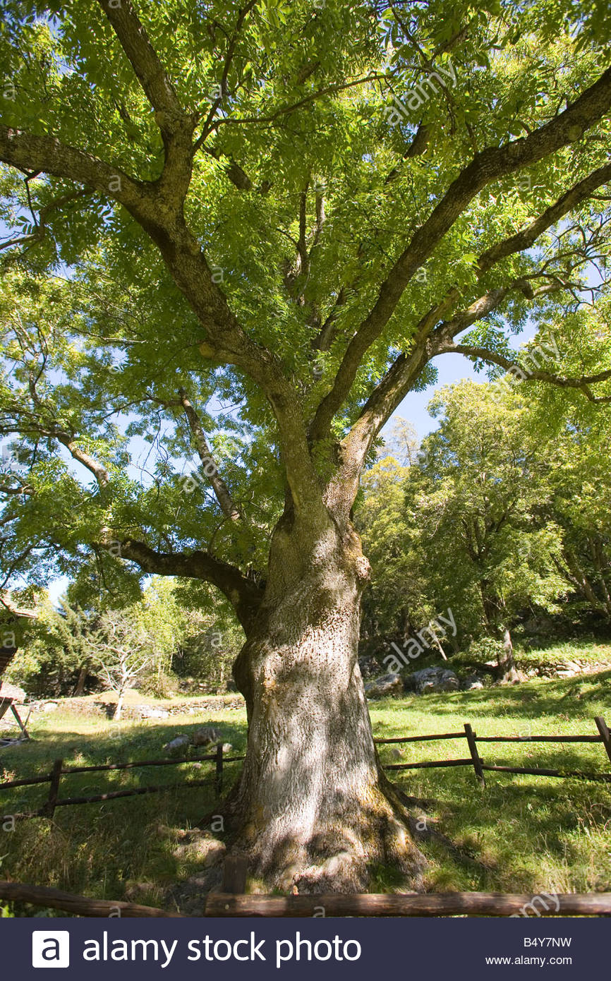 europe,italy,valle d'aosta,pont-sec,ash-tree - Stock Image