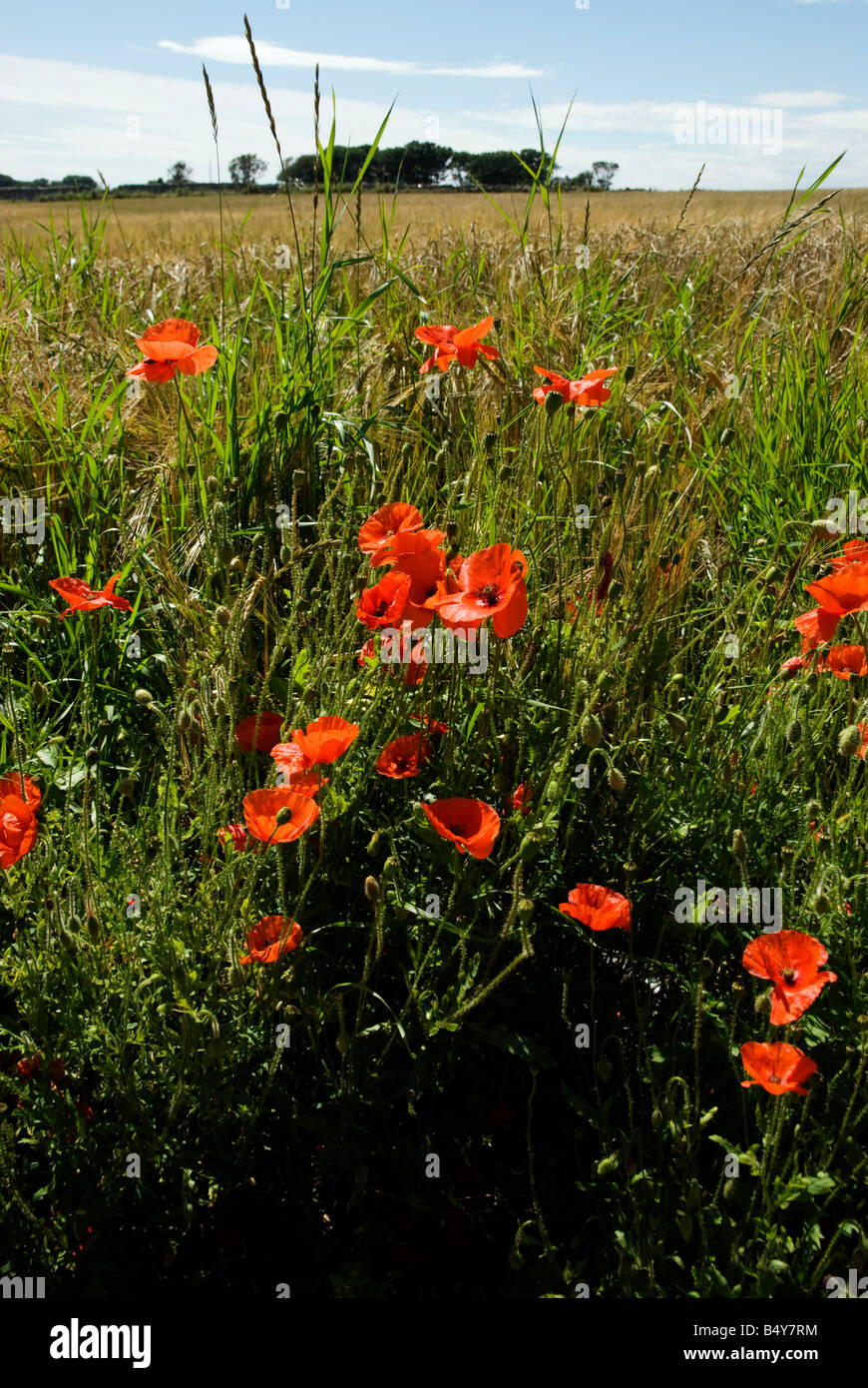 Poppies growing at edge of field of barley - Stock Photo