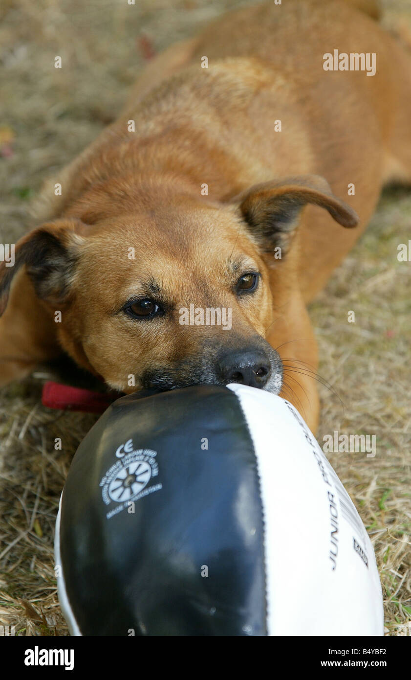 Jack Russell terrirer croosbreed dog playing with a rugby ball - Stock Image