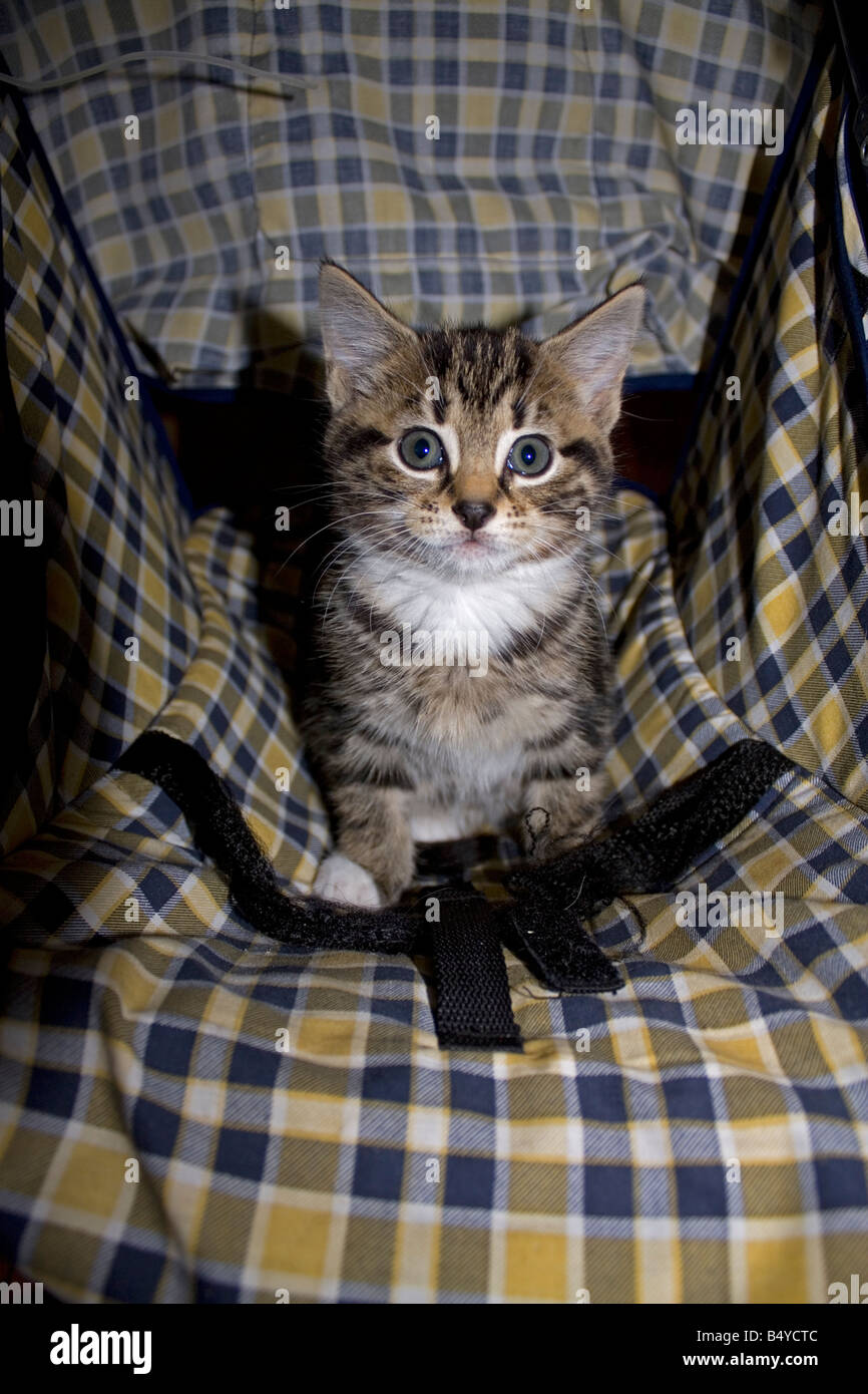 Young tabby kitten Cotswolds UK - Stock Image