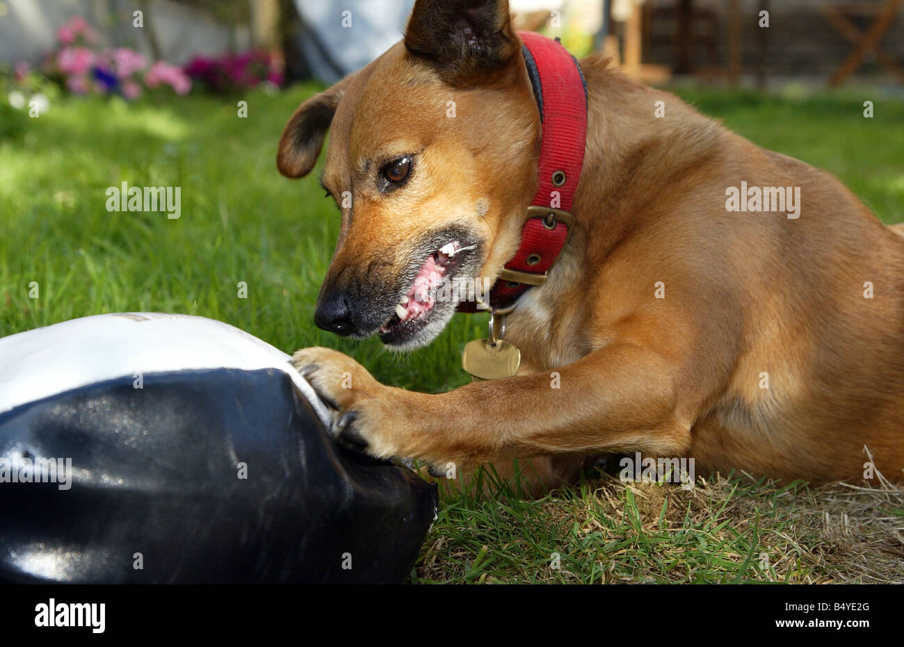 Jack Russell terrier crossbreed dog playing with a rugby ball - Stock Image