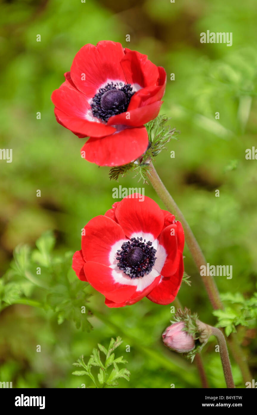 Two Red Poppies - Stock Image