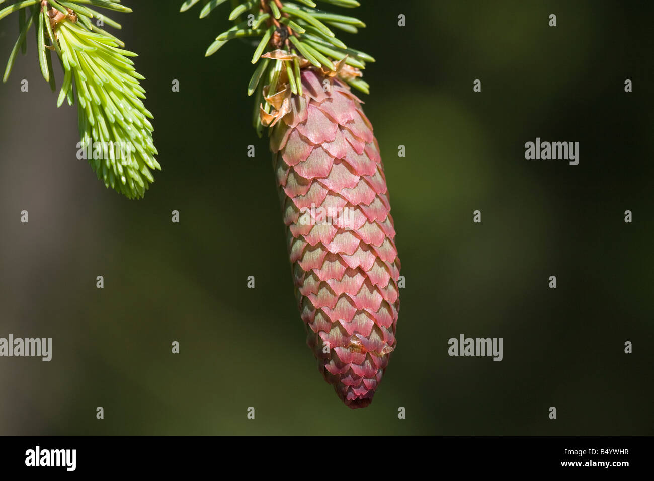 Picea abies Norway Spruce tree conifer evergreen - Stock Image