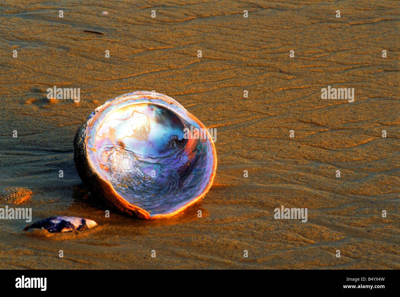 Abalone shell Haliotis iris on sandy shore - Stock Image
