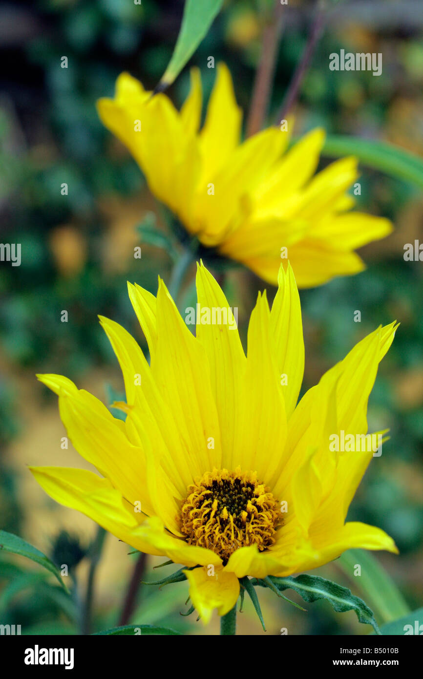 Yellow Perennial Tall Flower Stock Photos Yellow Perennial Tall