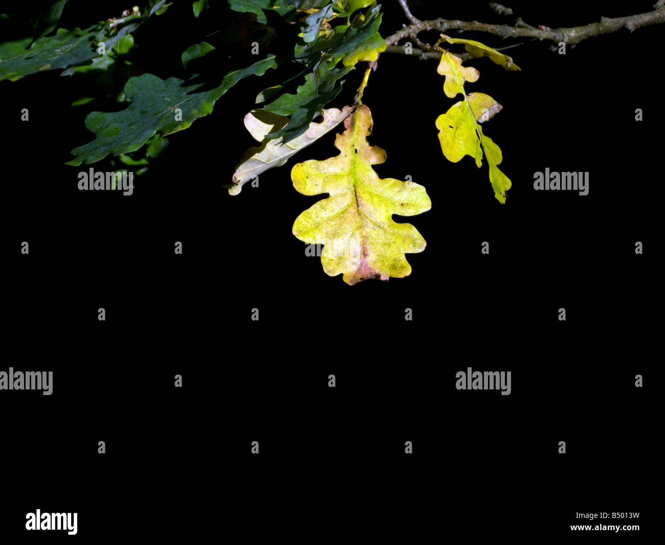Autumnal oak leaf highlighted in sunlight Stock Photo