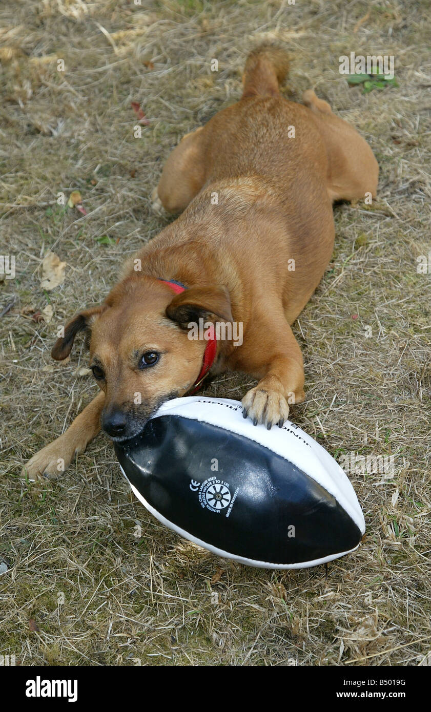A Parsons Jack Russell Terrier crossbreed dog playing with a rugby ball - Stock Image
