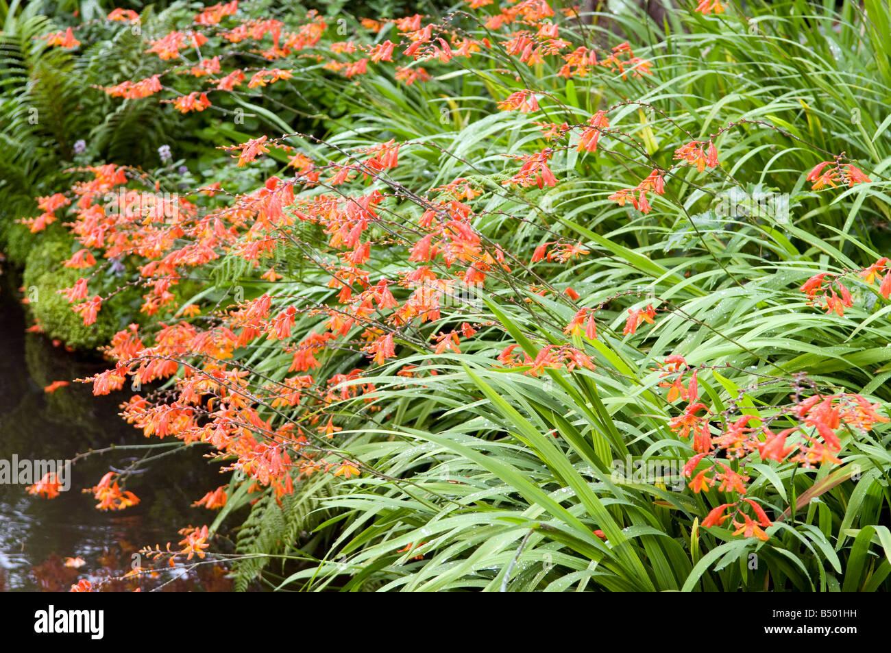 Crocosmia `Lucifers` Montbretia Iridaceae - Stock Image