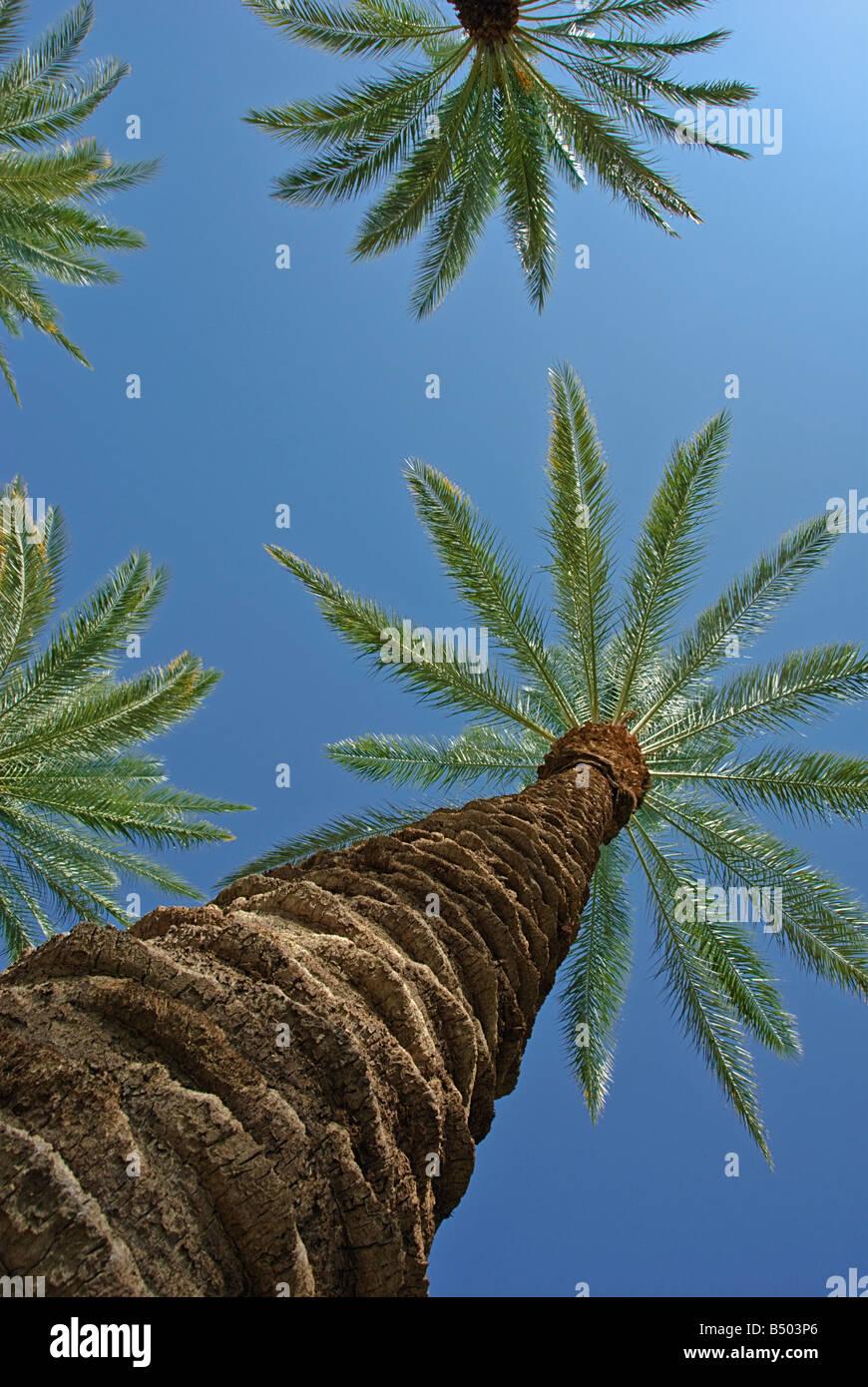 Palm Trees California palm tree s CA Fan Palm, native California palm tree palm trees Arecaceae Palmae Palmaceae - Stock Image