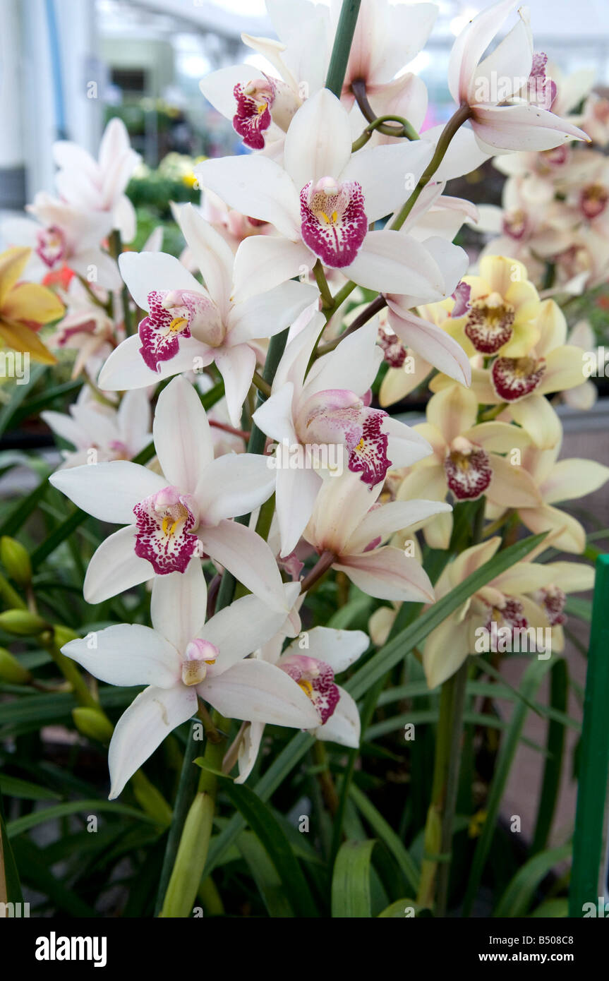 Orchid Orchidaceae  Mixed Display - Stock Image