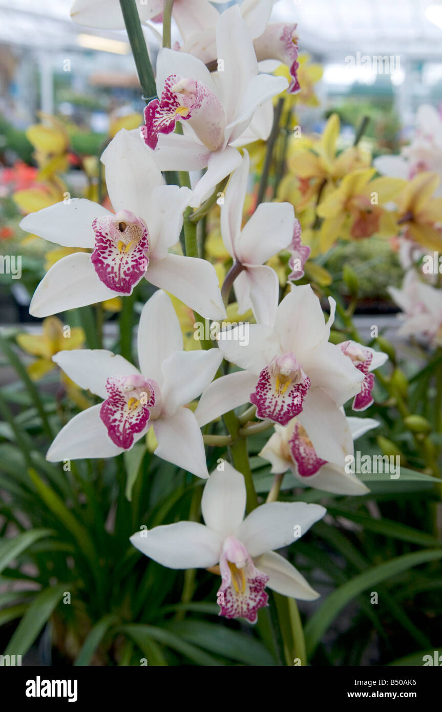 Orchid Orchidaceae Display - Stock Image