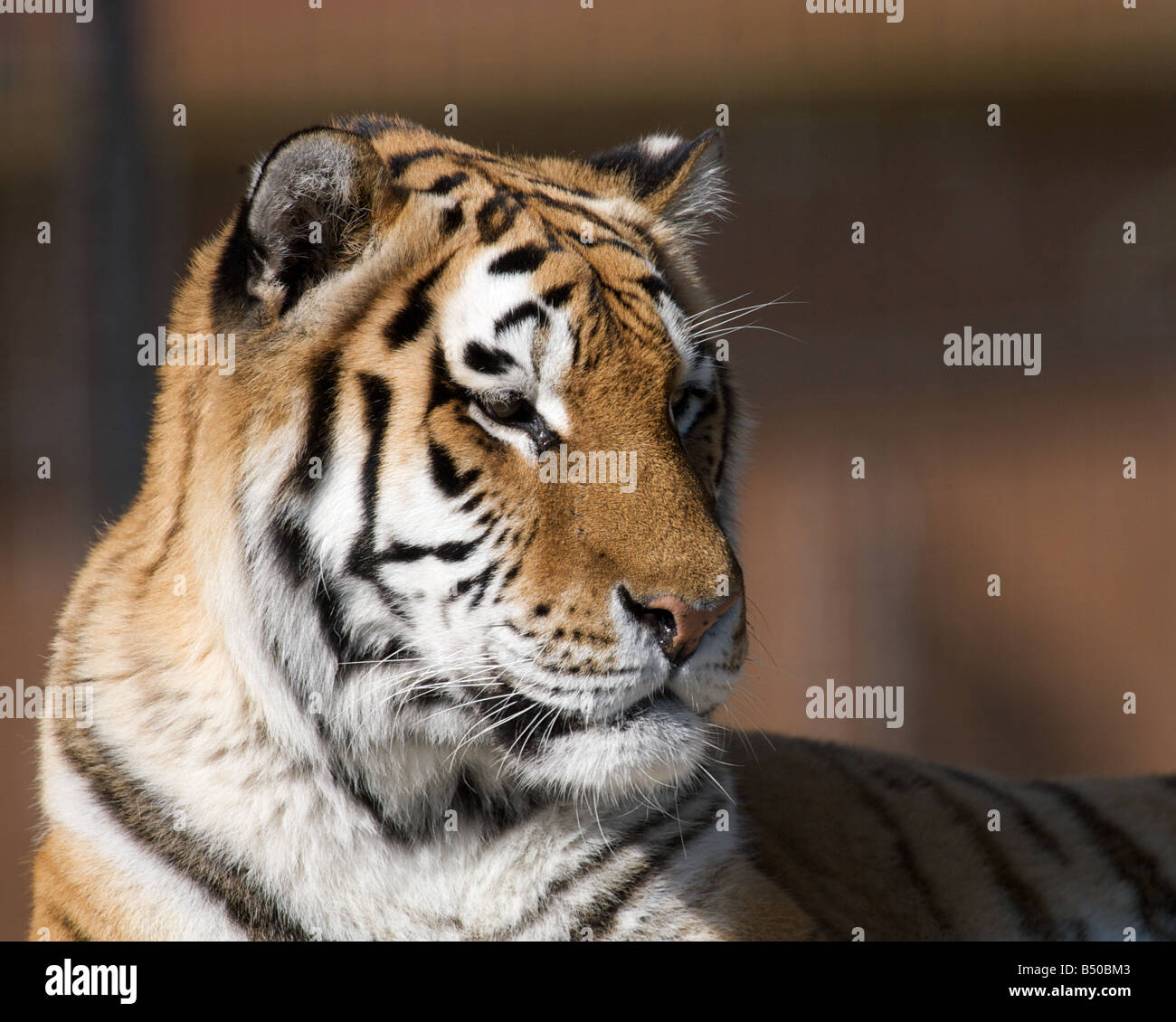 Captive tiger - Stock Image