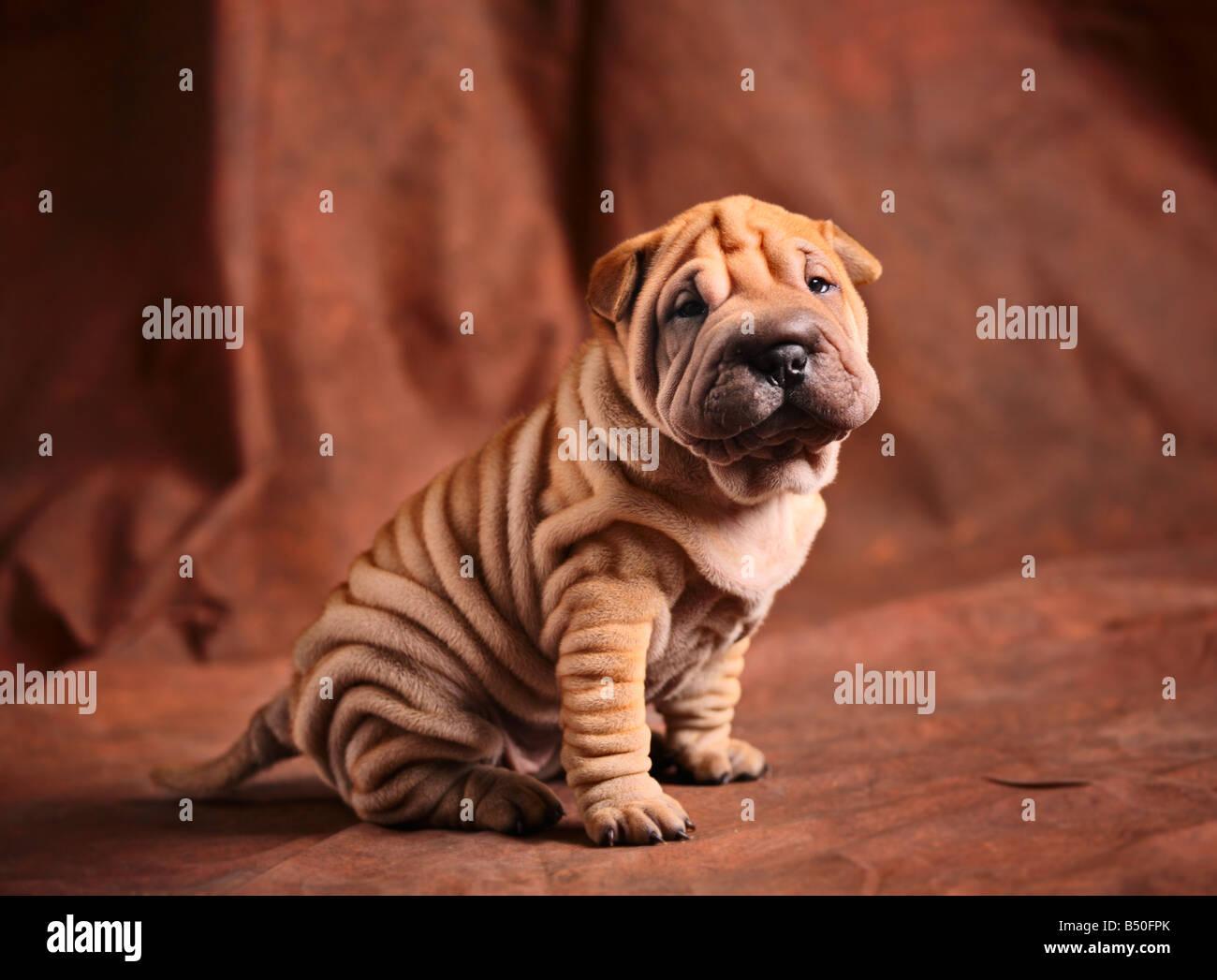 Cute sharpei puppy - Stock Image