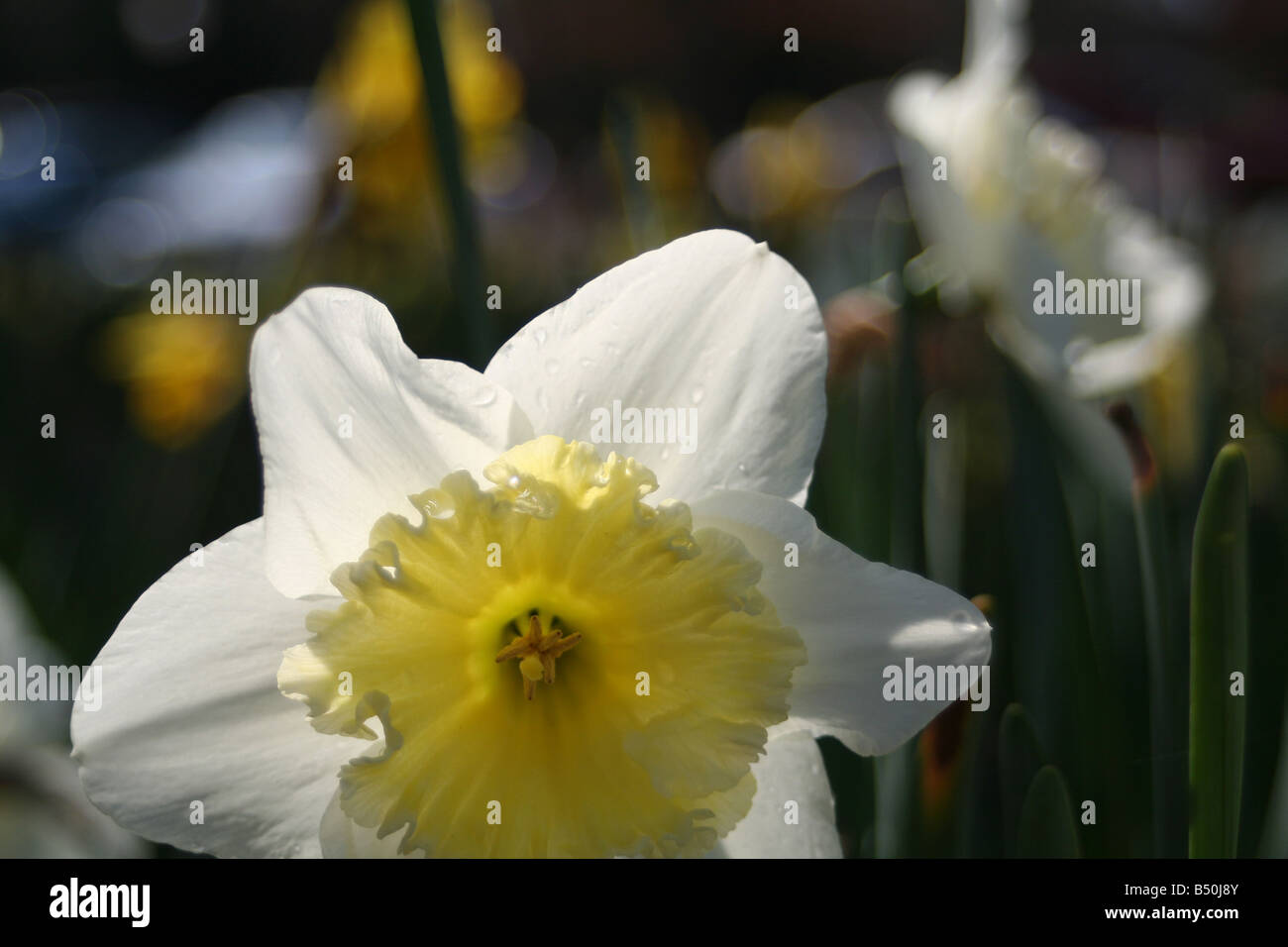 A daffodil in early Spring. - Stock Image