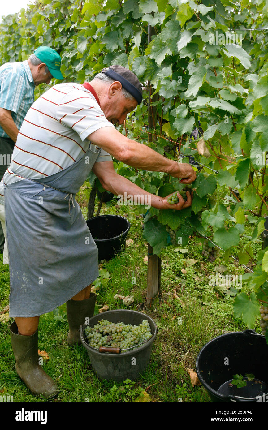 Sep 2008 - Wine Grapes harvest near Riquewihr Alsace France Stock Photo