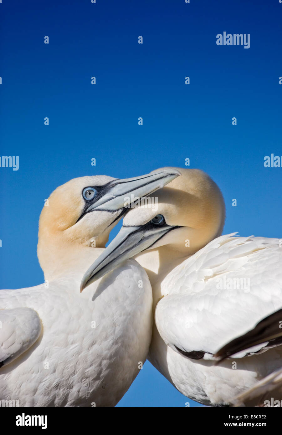 A pair of gannets billing - Stock Image