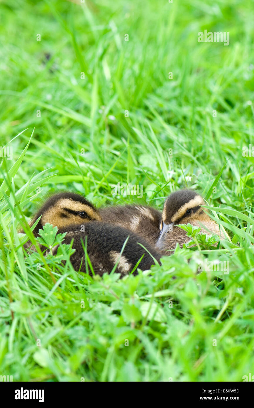 A pair of mallard ducklings resting together in grass taken in portrait mode - Stock Image