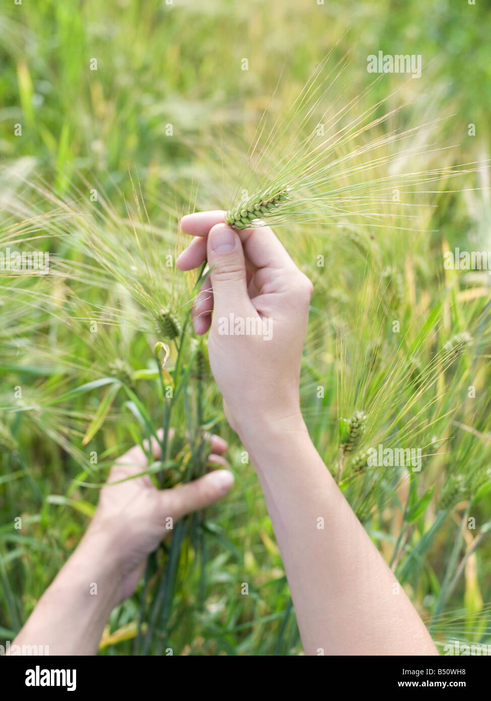 High angle view of a man s hand holding wheat stalks - Stock Image