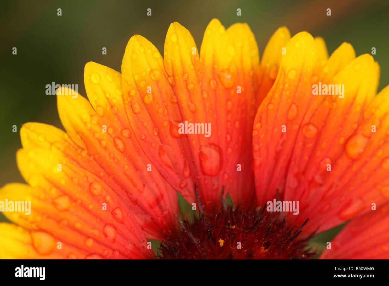 wet flower petals after rain storm. - Stock Image