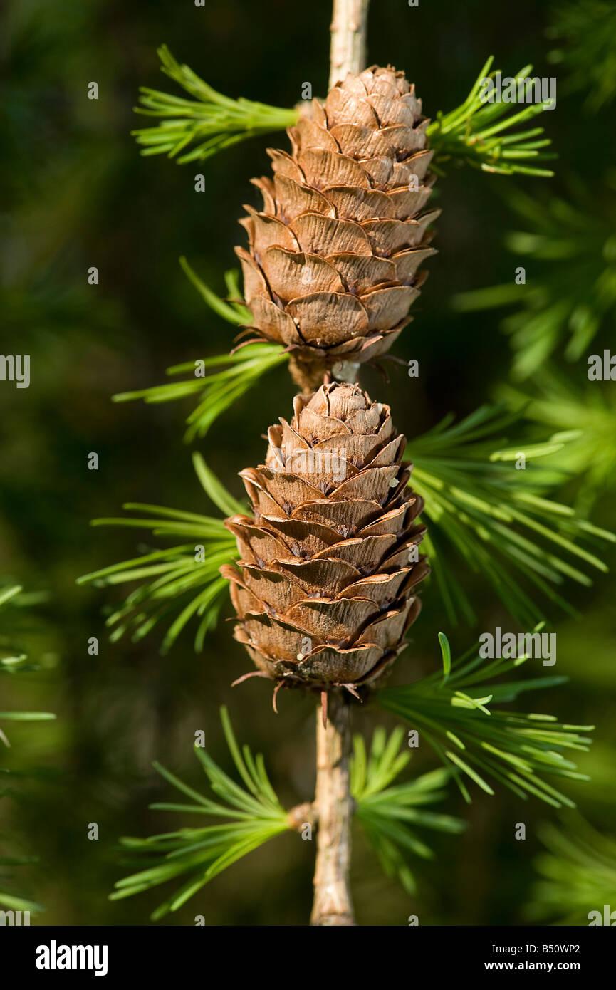 Woody cones of European larch Larix decidua with new spring needles - Stock Image