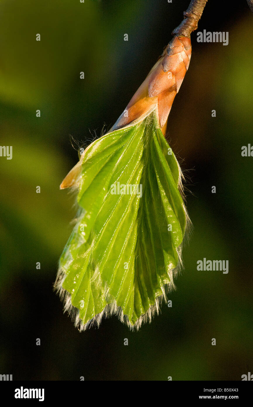 Beech Fagus sylvatica bud breaking in spring with creased leavres unfurling - Stock Image