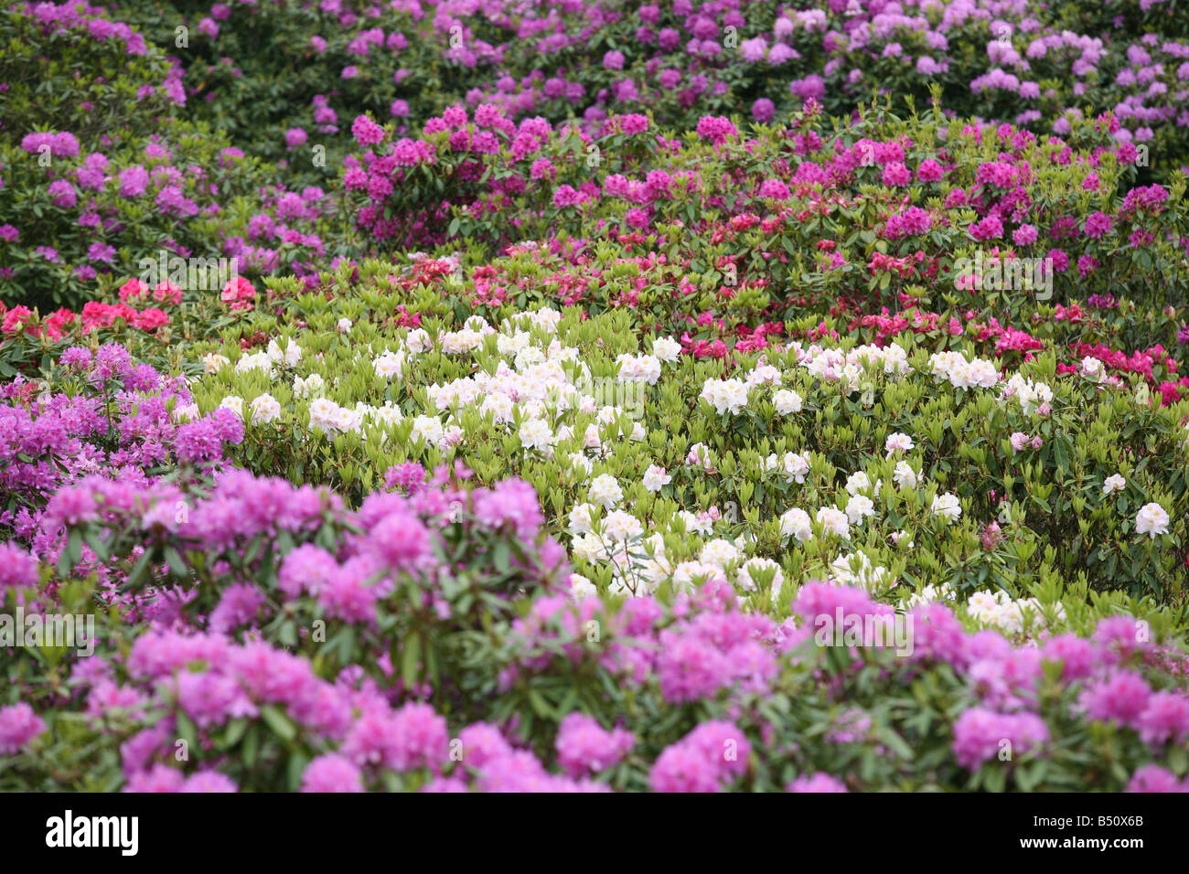 Canopy of rhododendron flowers, Sheringham Park, Norfolk, England - Stock Image