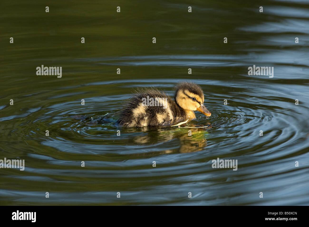 Mallard duckling Anas platyrhunchos swimming on Banks Pond late in evening showing dark eye stripe Stock Photo
