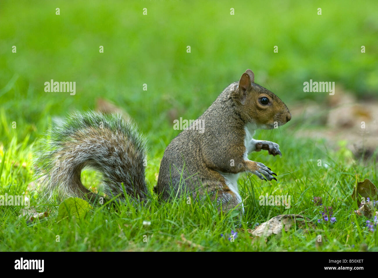 Grey squirrel Sciurus carolinensis pauses whilst foraging at dusk - Stock Image