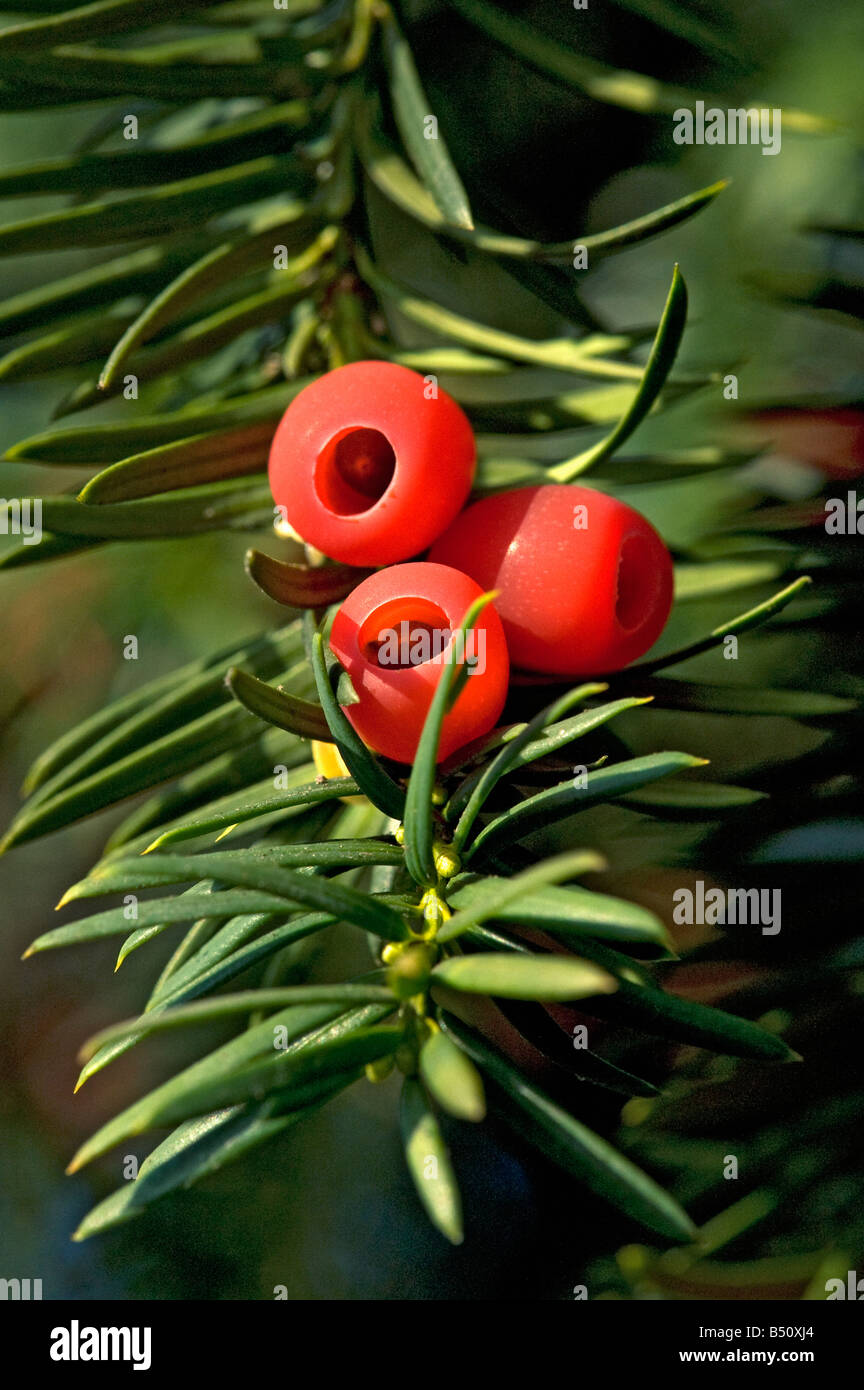 Red yew arils Taxus baccata with single seed All parts of the tree except for the aril are highly toxic - Stock Image